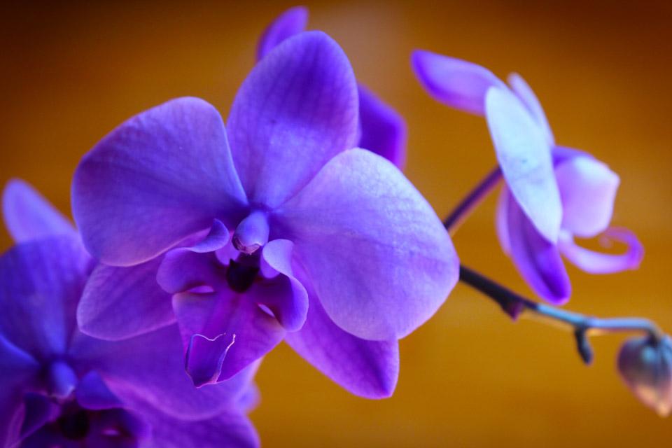 © Kristin D. Fundalinski - Purple Orchid